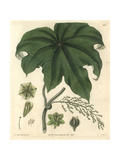 Columbo Or Calumba Plant, Cocculus Palmatus Giclee Print by Mrs. C Telfair