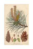 Scots Pine, Pinus Sylvestris Giclee Print by E. Weddell