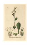 Water Pimpernel, Samolus Valerandi, From William Baxter's British Phaenogamous Botany, 1834 Giclee Print by Isaac Russell