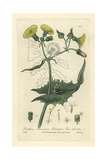 Sow-thistle, Sonchus Oleraceus, From William Baxter's British Phaenogamous Botany, 1835 Giclee Print by Isaac Russell