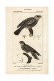 Tawny Frogmouth And Nightjar From Sainte-Croix's Dictionary of Natural Science: Ornithology Giclee Print