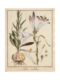 Madonna Lily, Lilium Candidum with Flowers, Leaves, Bulb, And Stamens Giclee Print by Friedrich Gottlob Hayne
