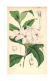 Shrubby Kopsia, Kopsia Fruticosa Giclee Print by Walter Hood Fitch