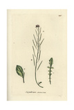 "Sand Rock-cress, Cardaminopsis Arenosa, From Pierre Bulliard's ""Flora Parisiensis,"" 1776, Paris Giclee Print by Pierre Bulliard"