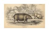 Common Hog Giclée-Druck