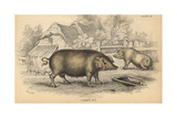 Common Hog Giclee Print