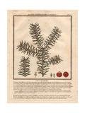 Common Yew Tree, Taxus Baccifera Giclee Print by Pierre Bulliard