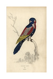 Indian Lory Giclee Print