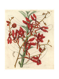 Scarlet Renanthera Orchid, Renanthera Coccinea Giclee Print by William Jackson Hooker
