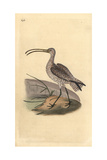 Curlew From Edward Donovan's Natural History of British Birds, London, 1817 Reproduction procédé giclée par Edward Donovan