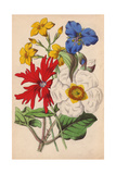 Cistus, Rose Campion, Jasmine And Commelina Giclee Print by James Andrews