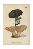 Imbricated Steccherino, Hydnum Imbricatum 1, And Hedgehog Mushroom, Hydnum Repandum 2 Giclee Print by Mordecai Cubitt Cooke