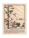 "Field Bindweed, Convolvulus Arvensis, From Pierre Bulliard's ""Flora Parisiensis,"" 1776, Paris Giclee Print by Pierre Bulliard"
