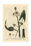 Arrowhead, Sagittaria Sagittifolia, From William Baxter's British Phaenogamous Botany, 1834 Giclee Print by Isaac Russell