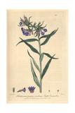 Purple Gromwell, Lithospermum Purpuro-coeruleum, From Baxter's British Phaenogamous Botany, 1838 Giclee Print by Isaac Russell