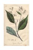 Gum Benjamin Tree, Styrax Benzoin Giclee Print by G. Reid