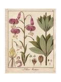 Turk's Cap Lily, Lilium Martagon Giclee Print by Friedrich Gottlob Hayne