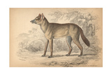 Aguara-dog of the Woods Giclee Print