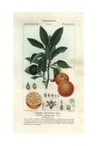 Seville Orange, Citrus Aurantium Giclee Print by Pierre J-F Turpin
