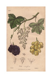 "Grapes, Vitis Vinifera, From Pierre Bulliard's ""Flora Parisiensis,"" 1776, Paris Giclee Print by G. Reid"
