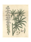 Hoary Lupine, Lupinus Incanus Or Lupinus Albescens Giclee Print by William Jackson Hooker