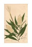 Cajuput Tree, Melaleuca Leucadendra Giclee Print by E. Weddell