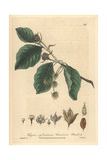 Beech Tree, Fagus Sylvatica, From William Baxter's British Phaenogamous Botany, Oxford, 1839 Giclee Print by Isaac Russell