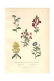 Blue Flossflower, Snapdragon, Scarlet Cantuta, Yellow Ladies Purse And Dwarf Morning Glory Giclee Print by Edouard Maubert