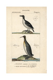 Razorbill And Emperor Penguins From Sainte-Croix's Dictionary of Natural Science: Ornithology Reproduction procédé giclée