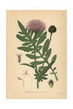 Greater Knapweed Giclee Print