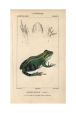 Green Or Edible Frog, Pelophylax Kl. Esculentus Giclee Print by Jean Gabriel Pretre