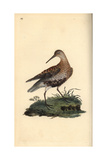 Dunlin From Edward Donovan's Natural History of British Birds, London, 1816 Giclee Print by Edward Donovan