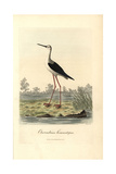 Common Stilt, Himantopus Himantopus Reproduction procédé giclée par George Graves