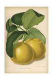 Imperial Lemon Cultivar, Citrus X Limon Giclee Print by Walter Hood Fitch