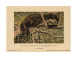 Water Monitor Lizard, Varanus Salvator Giclee Print by F. John