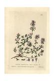 Wild Thyme Giclee Print