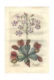 Venus Flytrap, Dionaea Muscipula Giclee Print by P. Maioli