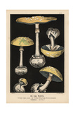 False Death Cap Giclee Print