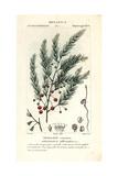 Asparagus, Asparagus Officinalis Giclee Print by Jean Gabriel Pretre