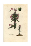 "Marsh Lousewort, Pedicularis Palustris, From Pierre Bulliard's ""Flora Parisiensis,"" 1776, Paris Giclee Print by Pierre Bulliard"