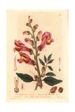 Great Snapdragon, Antirrhinum Majus, From William Baxter's British Phaenogamous Botany, 1835 Giclée-Druck von Isaac Russell