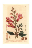 Great Snapdragon, Antirrhinum Majus, From William Baxter's British Phaenogamous Botany, 1835 Giclee Print by Isaac Russell