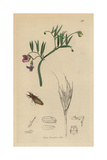 Livia Juncorum, Rush Jumping-louse with Marsh Vetchling, Lathyrus Palustris Giclee Print by John Curtis
