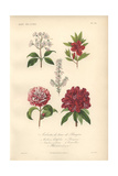 Mountain Laurel, Scarlet Azalea, White Heather, Pink And White Camellia, And Rhododendrum Giclee Print by Edouard Maubert