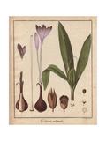 Meadow Saffron, Colchicum Autumnale, From William Baxter's British Phaenogamous Botany, 1834 Giclee Print by Friedrich Gottlob Hayne