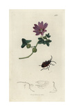 Pyrrhocoris Apterus, Masked Bug, with Common Mallow, Malva Sylvestris Giclee Print by John Curtis