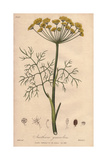 Dill, Anethum Graveolens Giclee Print by G. Reid