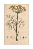 Dill, Anethum Graveolens Giclee Print by G. Reid