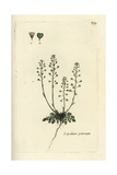 "Mountain Pepperwort, Lepidium Petraeum, From Pierre Bulliard's ""Flora Parisiensis,"" 1776, Paris Giclee Print by Pierre Bulliard"