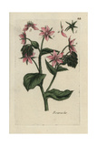 Borage, Borago Officinalis Giclee Print by Pierre Bulliard